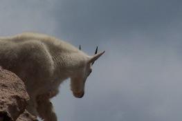 mtn-goat-8-july-2006